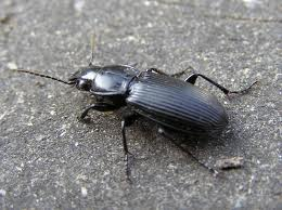 Black ground beetle