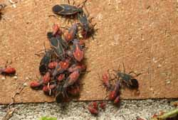 Boxelder bugs adults and nymphs