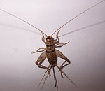 Copy of Brown cricket