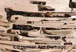 Copy of Carpenter Ant Damage