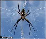 Copy of Commom Garden Spider
