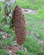 Copy of Displaced Honey Bees Nest