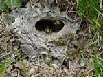 Copy of Greman ground bee nest