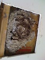 Copy of Yellow Jackets nest above ceiling