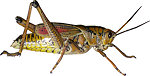 Copy of grasshopper