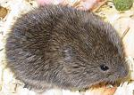 Copy of voles
