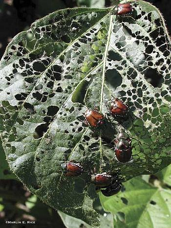 Japanese beetle feeding-damage