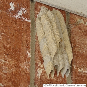 Mud Daubers nests