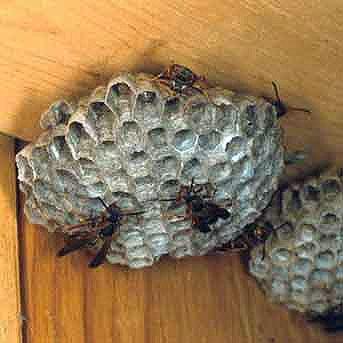 Unbrella wasp nests