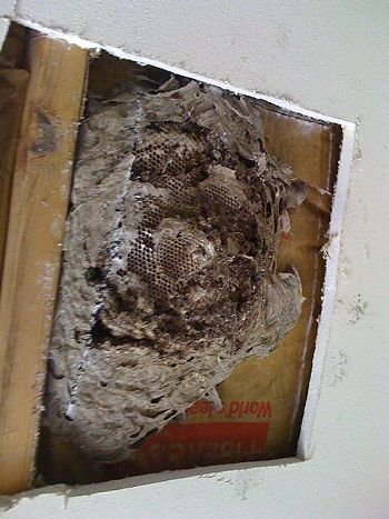 Yellow Jackets nest above ceiling1