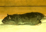 norway rat (2)